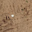 Gray Wolf (Tracks)