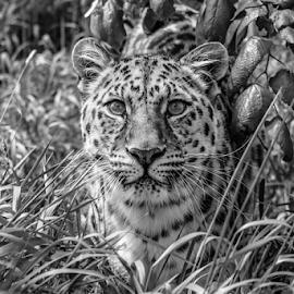 Xizi by Garry Chisholm - Black & White Animals ( leopard, amur, nature, mammal, big cat sanctuary, garry chisholm )