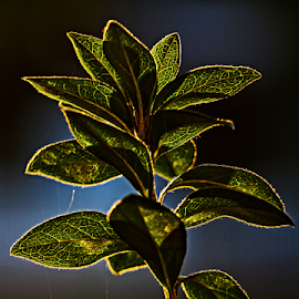 Sunrise through leaves by Ivy Luna - Nature Up Close Leaves & Grasses ( #edge light, #sunrise, #green, #leaves, #light,  )