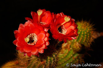 "Photo: Wishing everyone a wonderful weekend & happy shooting!!  ""Red Torch Cactus""  Saija Lehtonen Photography  #TorchCactus #Cactus #FloralFriday #Floral #Macro #Nature #Southwest #Photography #Red"