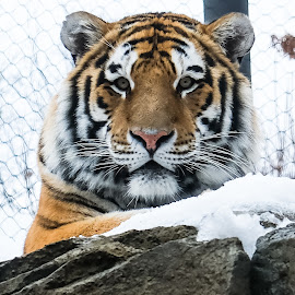 My cat fin by Jeffrey Hansen - Animals Lions, Tigers & Big Cats