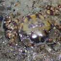 Asian Shore Crab