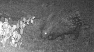 Photo: Porcupine; Porco-espinho.