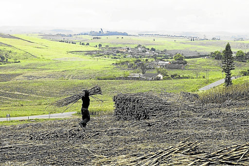 Sticky stalks:  A sugar-cane worker piles harvested cane in a heap on a KwaZulu-Natal farm. Picture: SUNDAY TIMES