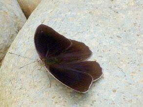 Photo: PALE (CLYTIA) PURPLEWING--m--eunica clytia--TRACK TO APUYA-