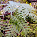 Appalachian Rock Polypody
