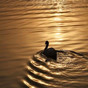 by Praveen Kulshreshtha - Nature Up Close Water ( pond, ripples, sunrise, reflection, peace, domesticated goose, water )