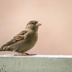 Sparrow by Harish Kumar K - Animals Birds