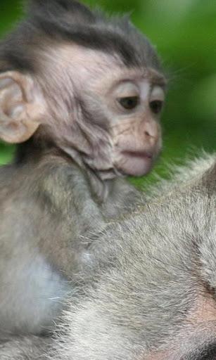 원숭이 배경 화면