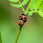 Cheilomenes sexmaculata 六斑月瓢蟲
