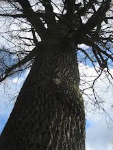 Photo: Potęga dębu. Te drzewa mnie fascynują. Są takie poważne i wzbudzają respekt.