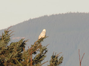 Photo: Snowy Owl 2 of 3 -- south jetty on the Columbia River. 1/19/2013