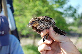 Photo: Bird banding at the Meadowlands, in NJ.