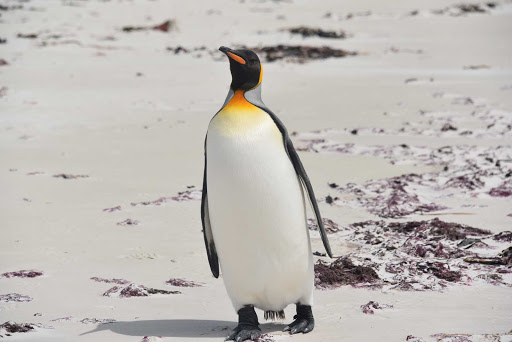 DSC_0647.jpg - The largest penguin on the island of East Falkland is the king penguin, with beautiful colors — and endangered.