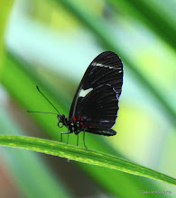 Photo: (Year 3) Day 23 - Butterfly in the Californian Academy of Sciences Rainforest #2