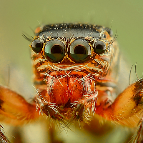 Jumping Spider by Dave Lerio - Animals Insects & Spiders (  )