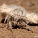 Western Tussock Moth