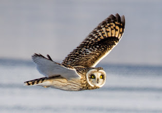 Photo: Short-eared Owl