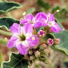 Desert Wishbone-Bush