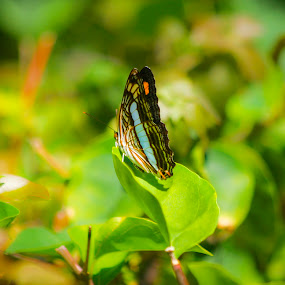 Beautifly beautiful by Gabriel Cabrera - Animals Insects & Spiders ( butterfly, bugs, nature, color,  )
