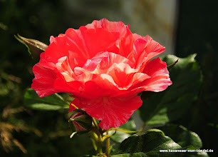 Photo: Malerrose vom Tag der Rose in Ulm 2012