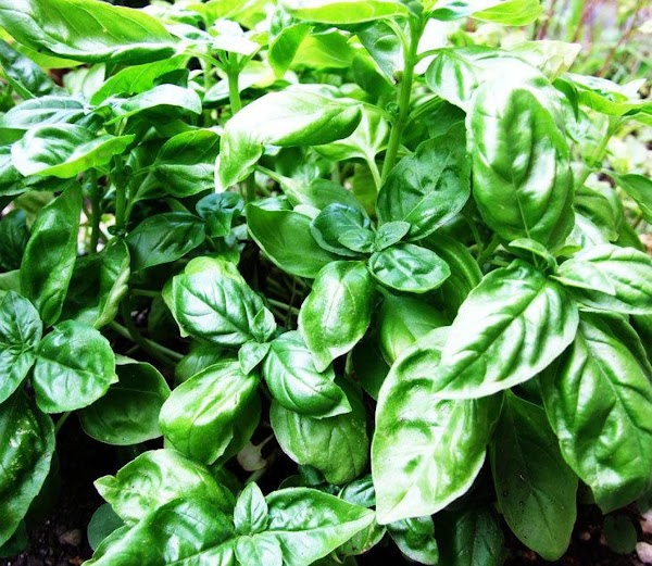 Basil. Description***Member of the mint family. It has green leaves.Flavor***Sweet clove-like flavor, pungent. Uses***Mostly...