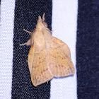 Common Gum Snout Moth