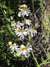 Photo: Pajaritos o Mariposita Blanca (Schizanthus)
