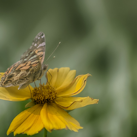 One Eyed On Beauty by Janice Mcgregor - Animals Insects & Spiders ( wild flower, canon, butterfly, petals, macro photography, canon sl1, insect, spring, bokeh, macro, nature, wings, summer, nature photography, canon photography, flower, floral,  )