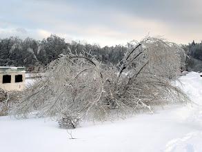 Photo: некоторые деревья просто легли на землю