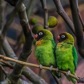 Love birds by Nizam Akanjee - Animals Birds ( love, madagascar, love birds,  )