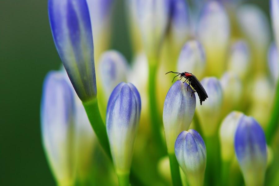 Love Bug on Agapanthus Flower by Deborah Powell - Flowers Flower Buds ( macro, blue flowers, insects on flowers, lily of the nile, agapanthus, love bug on flower, love bug, flower )