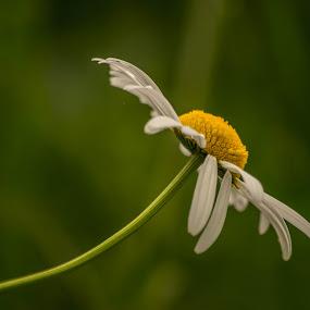 by Bojan Berce - Flowers Single Flower (  )