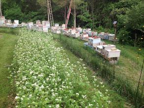 Photo: Bees and Buckwheat