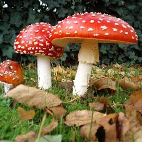 Three toadstools by Anita Berghoef - Nature Up Close Mushrooms & Fungi ( nature, autumn, three, nature up close, toadstool, nature close up, toadstools,  )