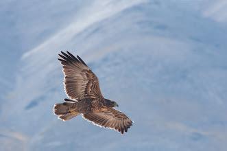 Photo: Puna Hawk, juv.(Punabussard); Valle Calchaquí, ARG