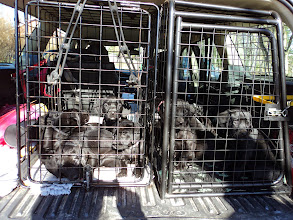 Photo: På väg till veterinärbesiktning. 5 i varje bur.
