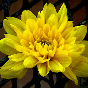 Flower by Jane Fourie - Flowers Single Flower ( yellow flower,  )
