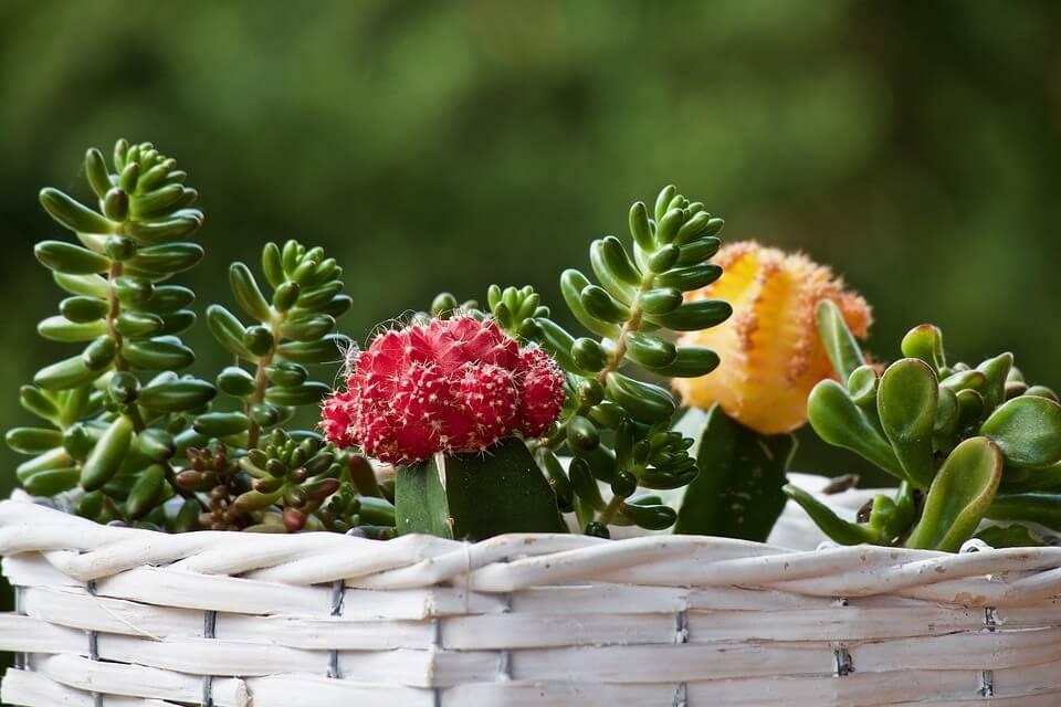 cuidados de las plantas suculentras o crasas