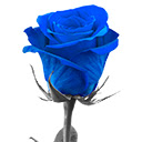 Blue Rose Wallpapers NewTab Theme