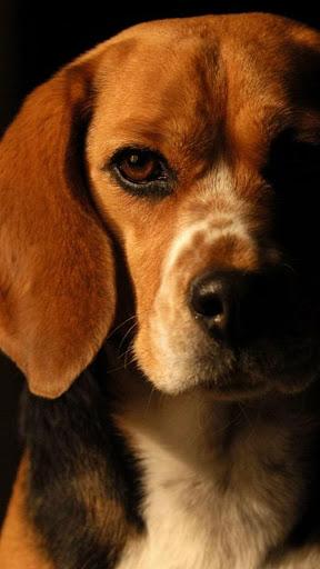 Download Beagle Wallpaper Cute Dog Wallpapers Free For Android Beagle Wallpaper Cute Dog Wallpapers Apk Download Steprimo Com