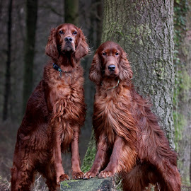 Welcome to our part of the woods by Ken Jarvis - Animals - Dogs Portraits ( dogs, irish setter, dog portraits, irish, dog, woods )
