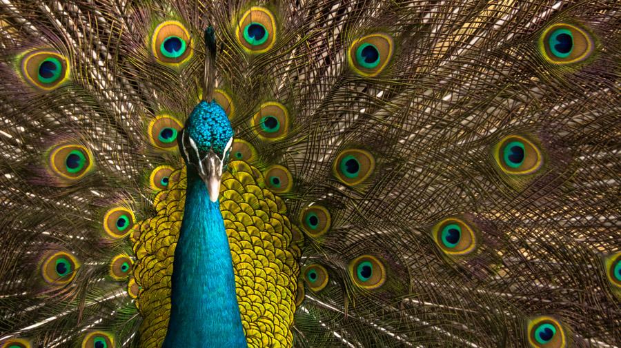 Resident Peacock by Niki Garcia - Animals Birds