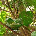 Tailor birds nest