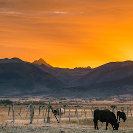 Cows and Sunrise by Chad Roberts - Landscapes Sunsets & Sunrises ( sky, orange, sunrise, grand tetons, cows, sunset, evening,  )