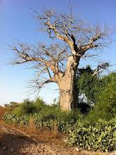 Photo: Most beatiful baobab