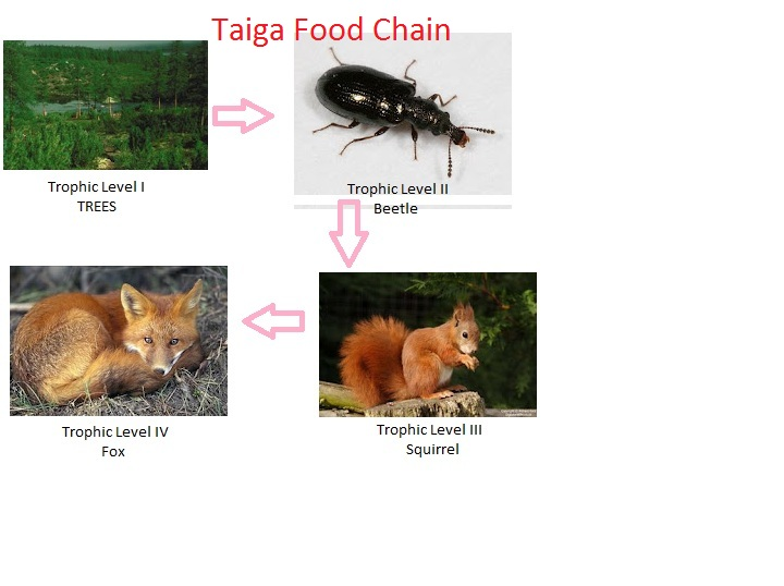 About 90% of species of world's insects and animals are found in the rainforests. Food Chain In A Taiga Ecosystems And Biomes 4c