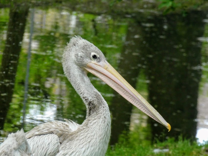 Młody pelikan