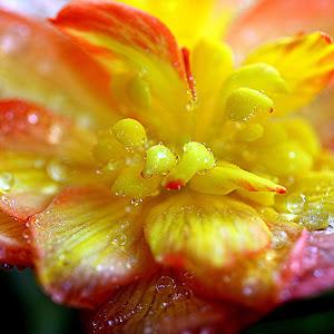 Žuta begonije 2.jpg
