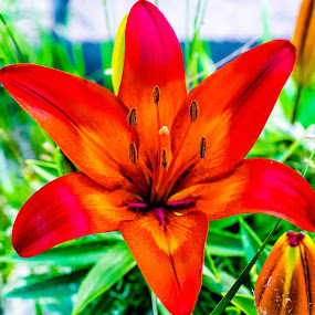 Tiger Lily by Robert Smith - Flowers Single Flower ( beautiful bloom, red, lily, tiger, yellow )